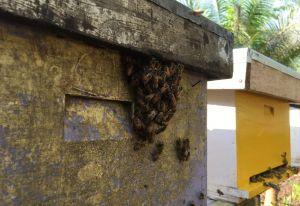 Merevitalisasi Lahan Gambut Mengecap Manisnya Lebah Madu